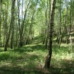 Lasek Brzozowy w Górach Koperskich